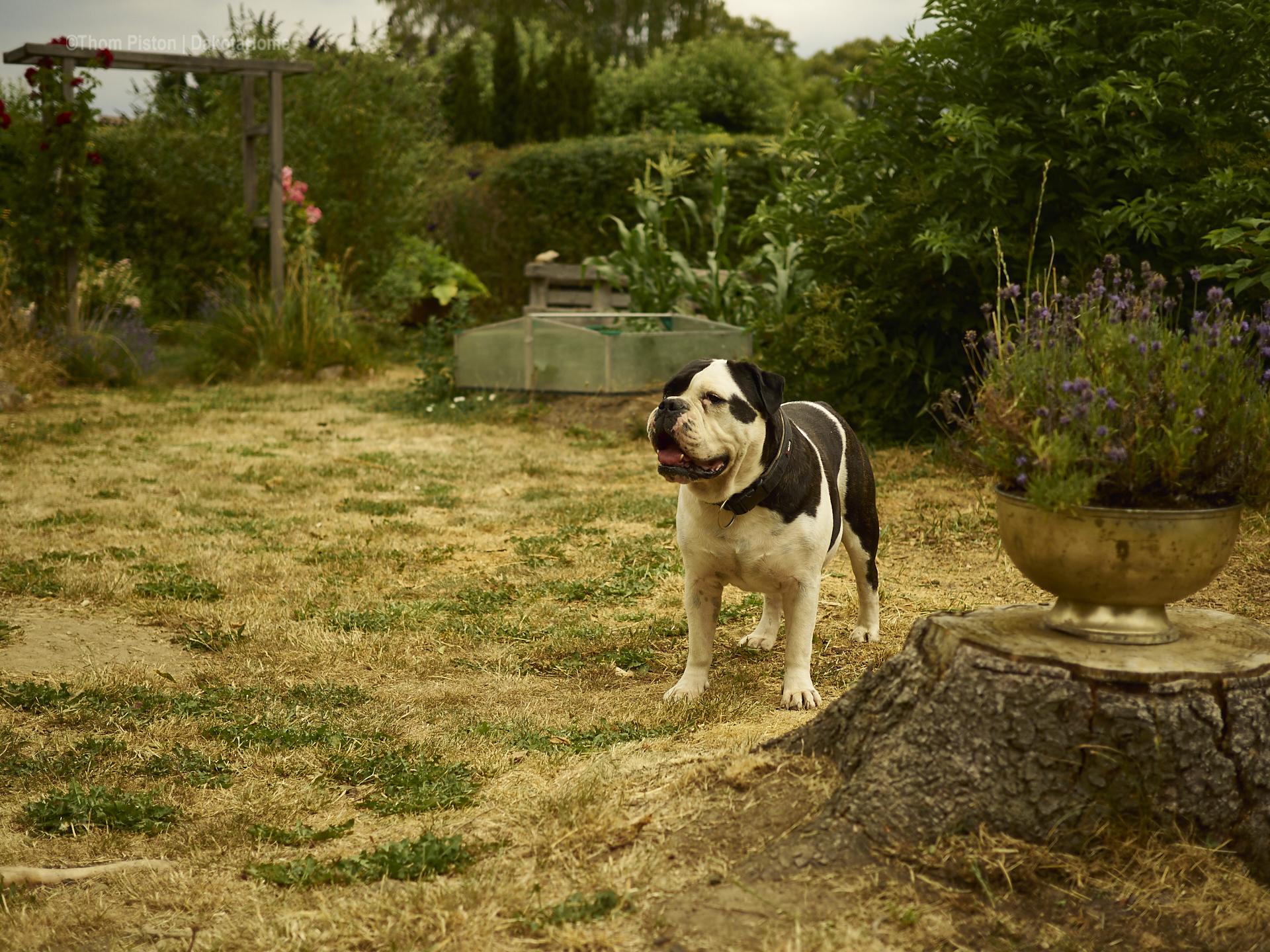 die beste Bulldogge der Welt muss immer ganz genau bescheid wissen..