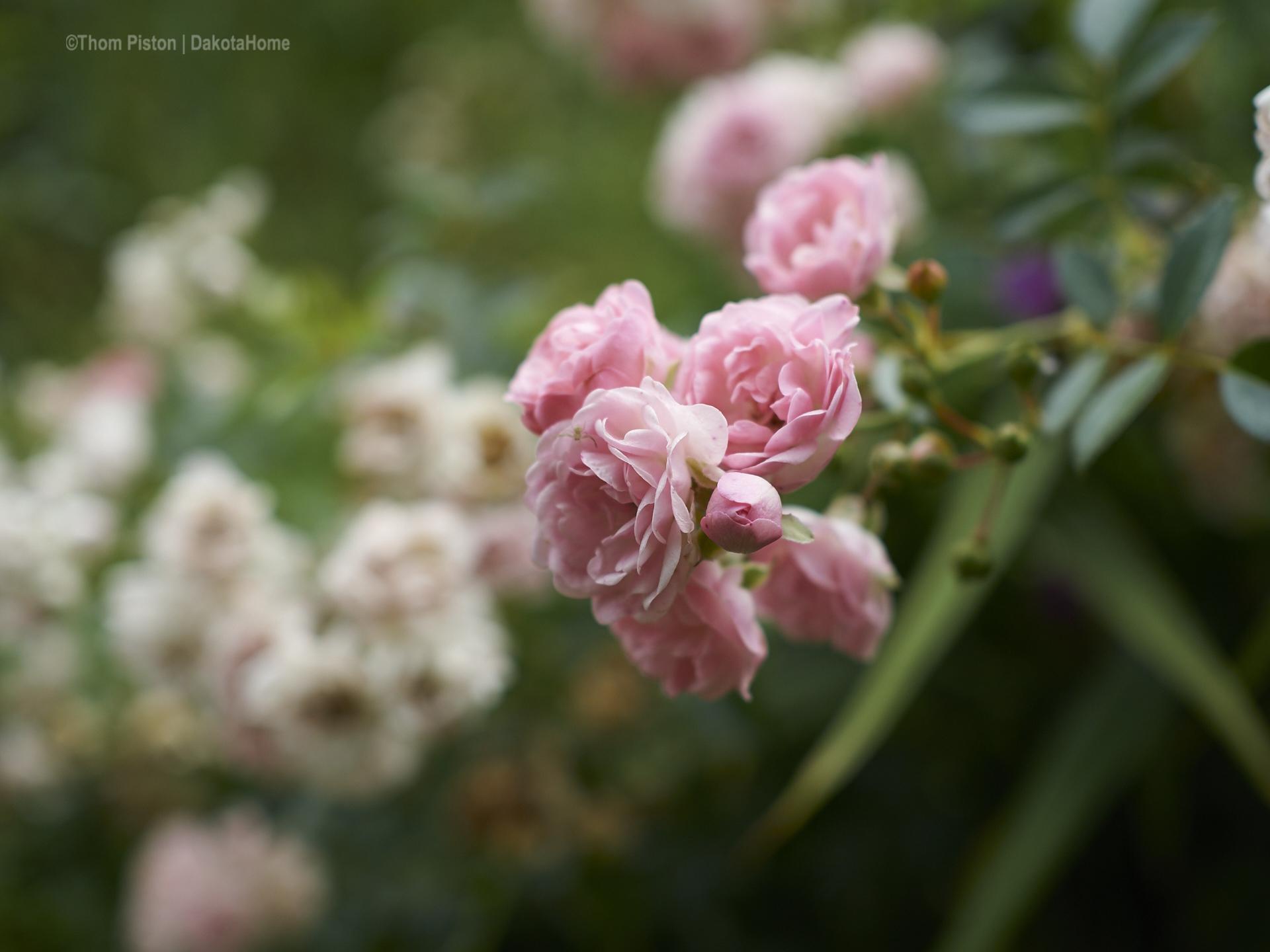 unsere geliebten Rosen..