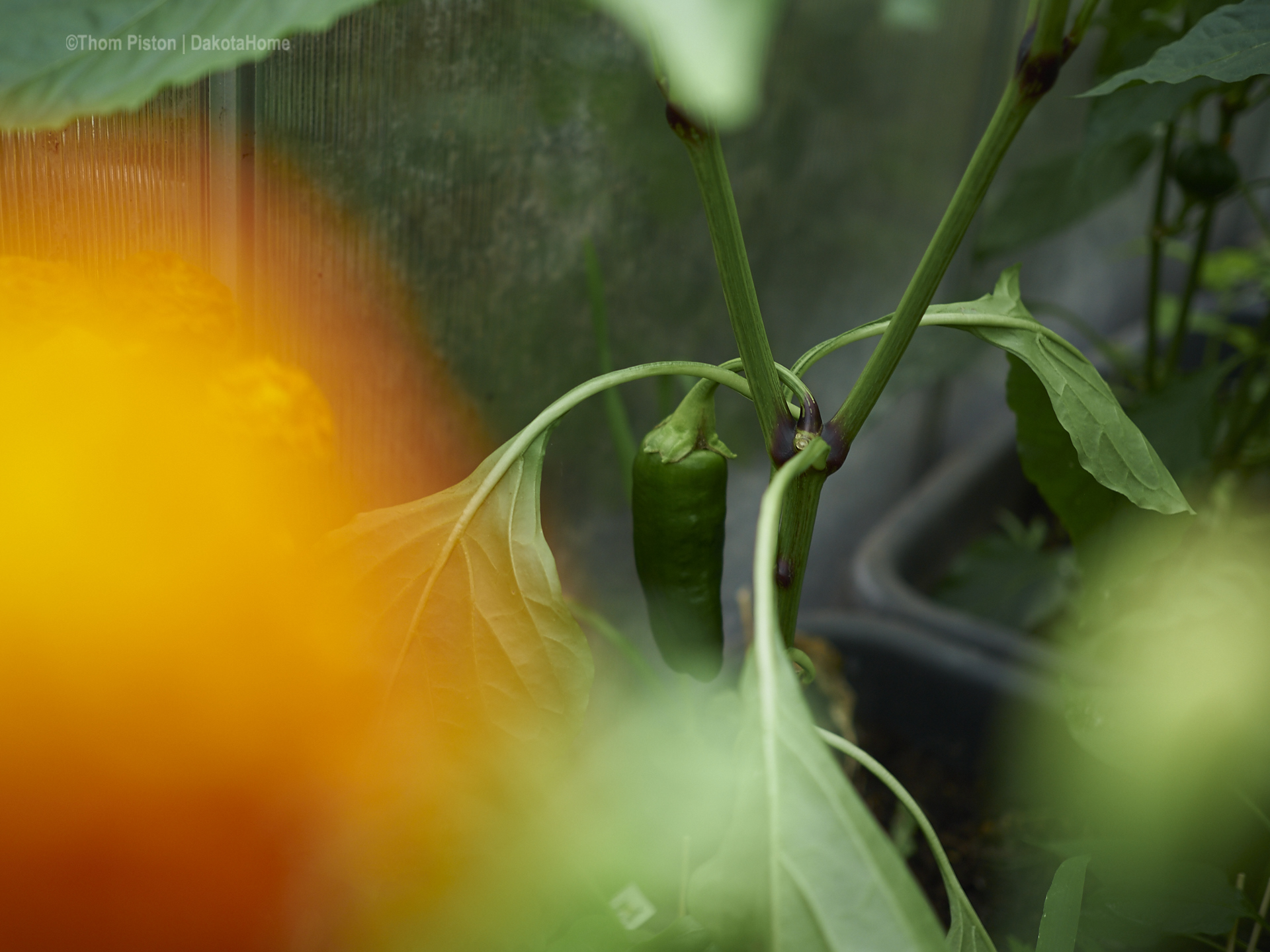 Gewächshaus ma wieder, chillies, Paprika , tomaten..