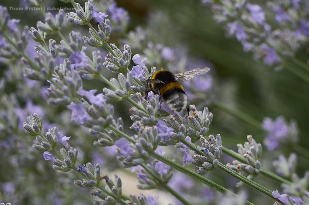 Bienen und Lavendel..da gehn sie irgendwie Steil drauf