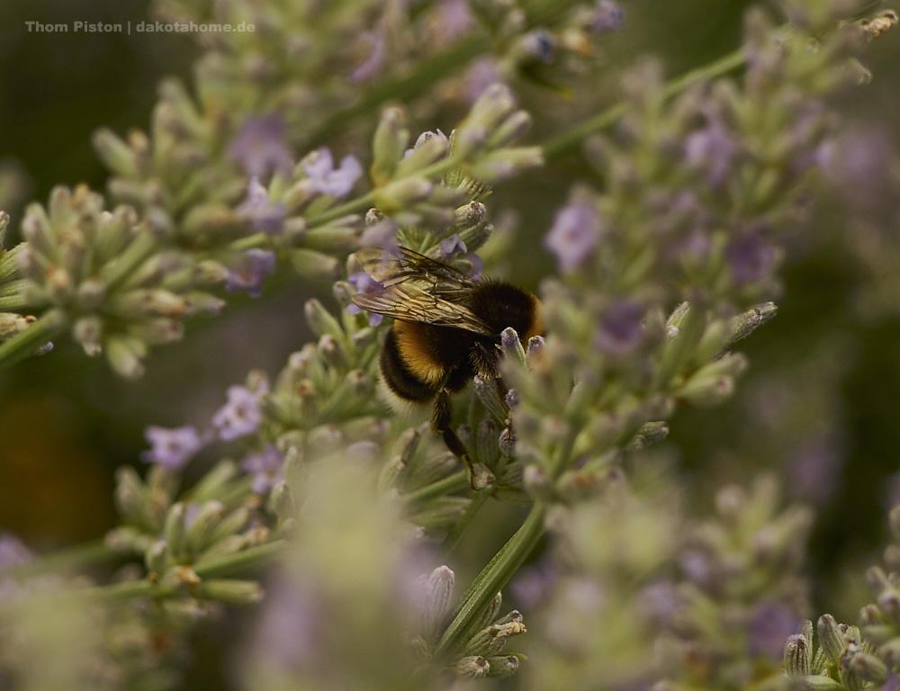 Fleissige Bienen at Dakota Home