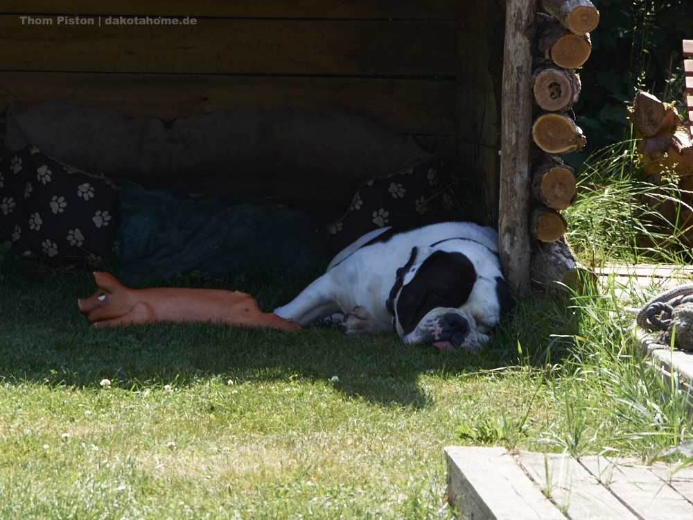 Schlafende Old English Bulldog