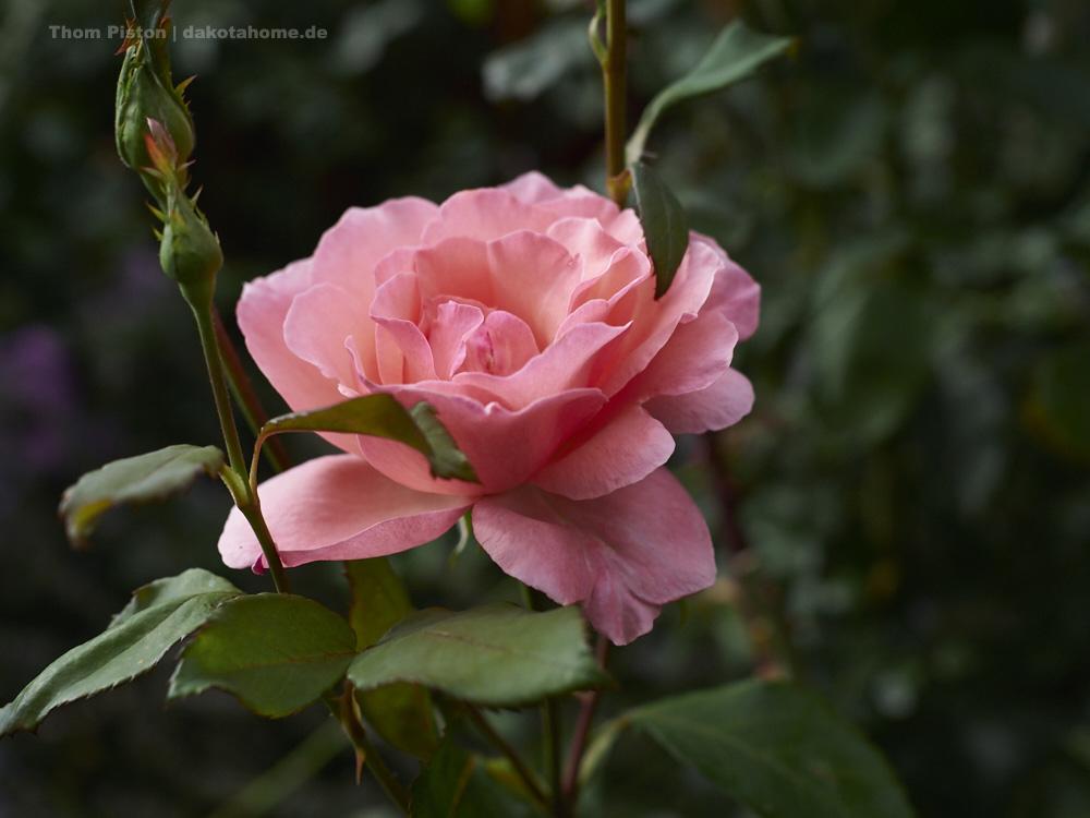 Rosen in etlichen Farben