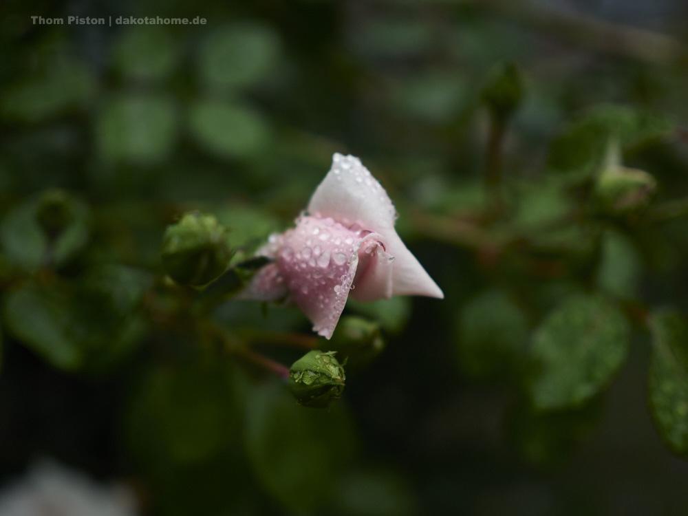 weils so schön ist..Rosen in etlichen Farben mit Regen dranne..
