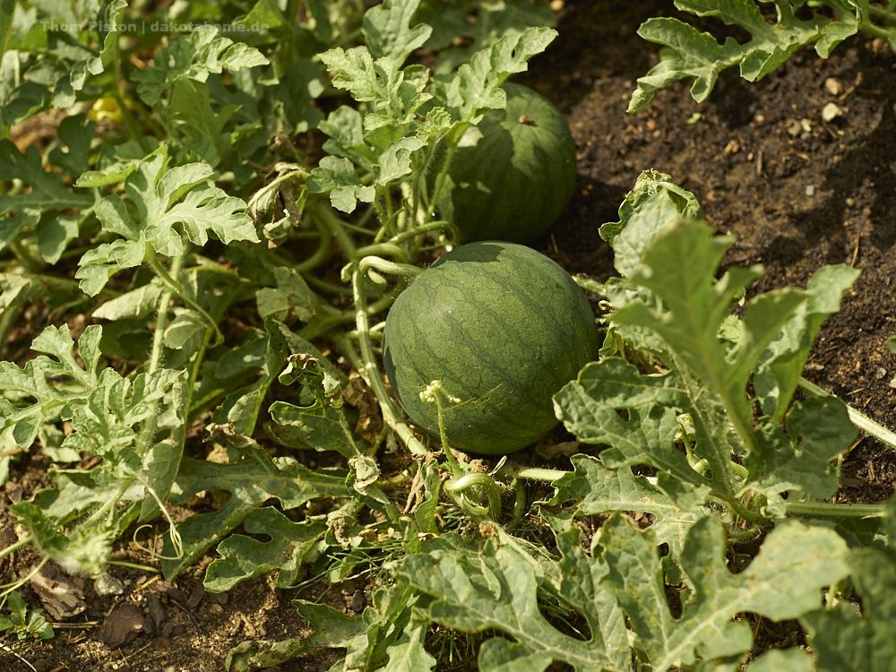 Melonen am Mais