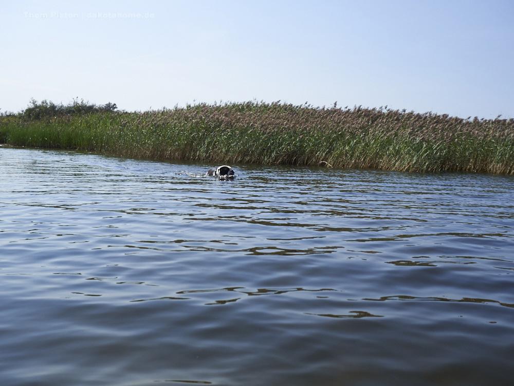 schwimmende old british bulldog