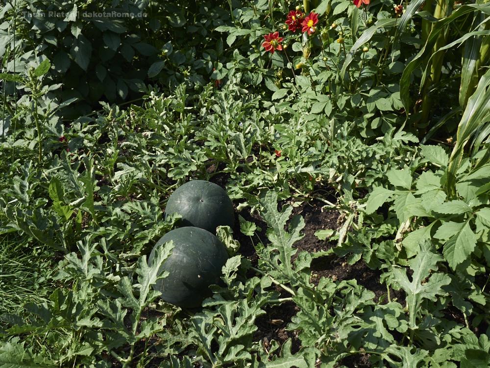 unsere Melonen
