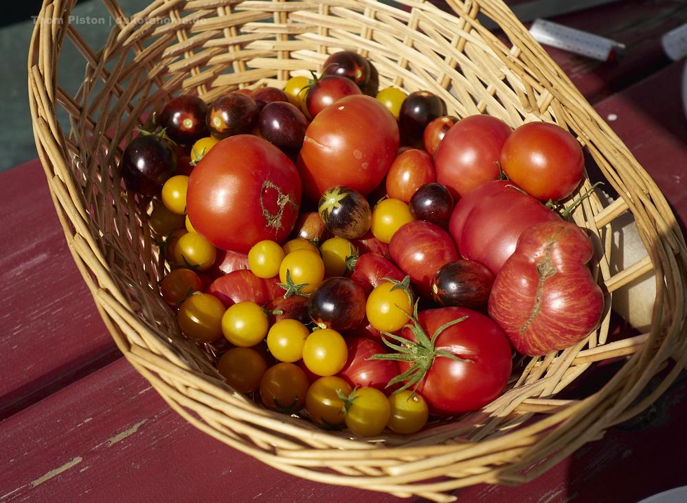 Tomaten aus dem selbstversorger garten in brandenburg