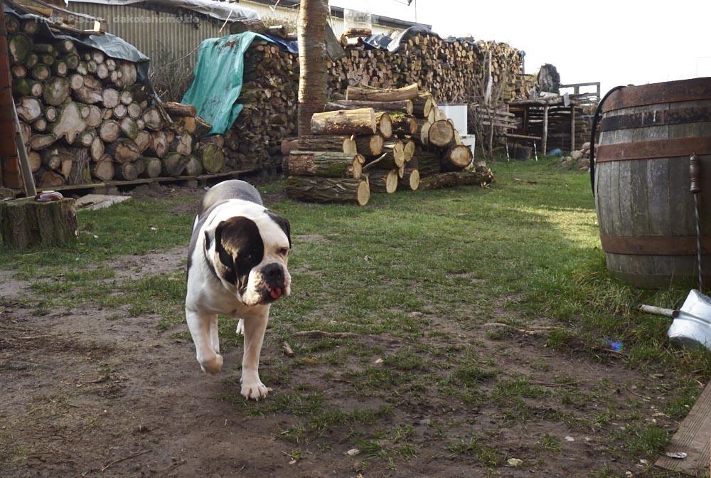 für die Bulldogge alles purer Stress..alles ist auf einmal anders..er mag veränderungen nicht sonderlich..
