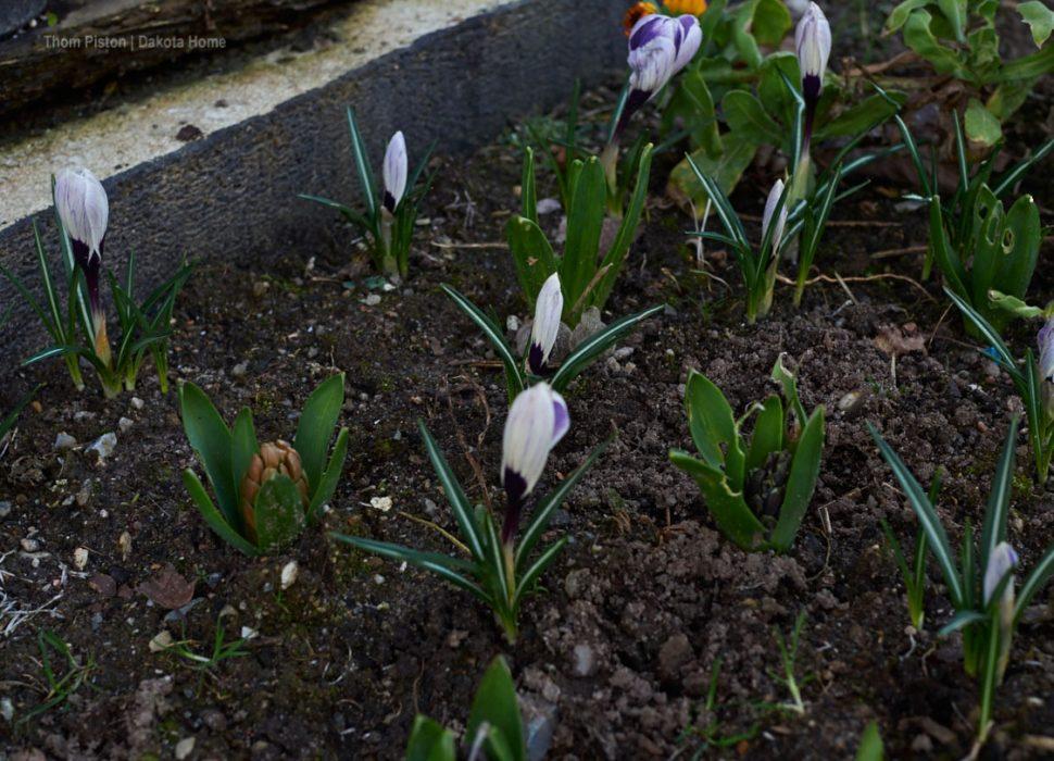 März 2020, Blumen am Dakota Home