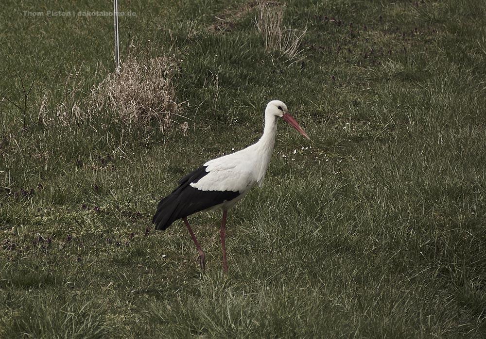 Der Storch kam dieses Jahr mit den ersten Frühlingstemperaturen am 21. März