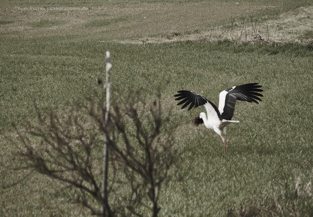 Der Storch renoviert sein Nest