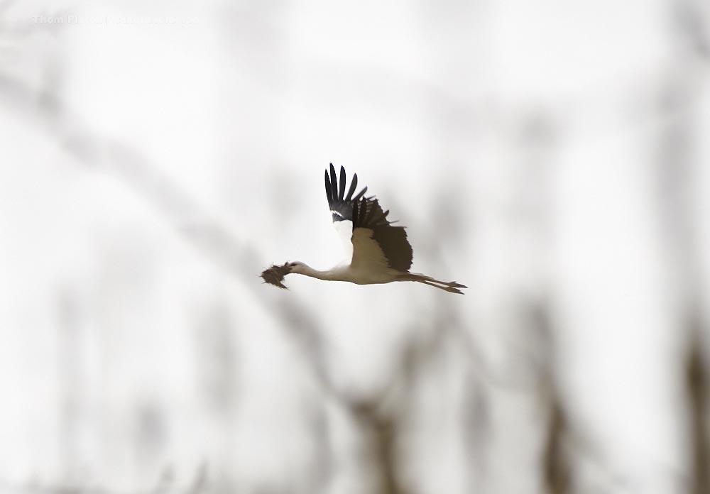 Der Storch auf dem Weg zu seinem Nest