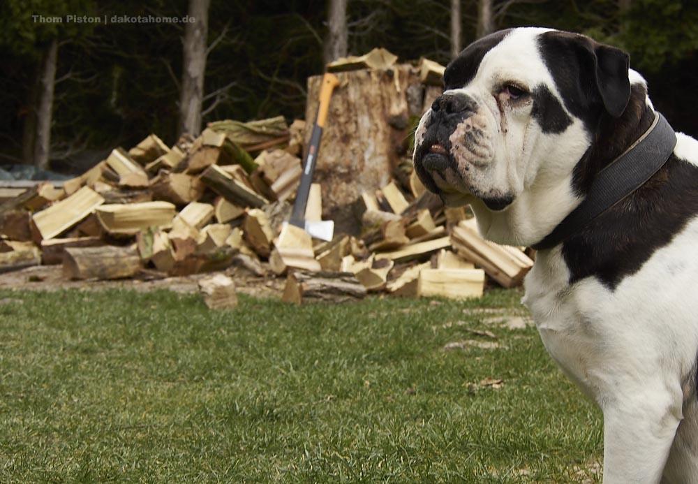 Alwin Old English Bulldog