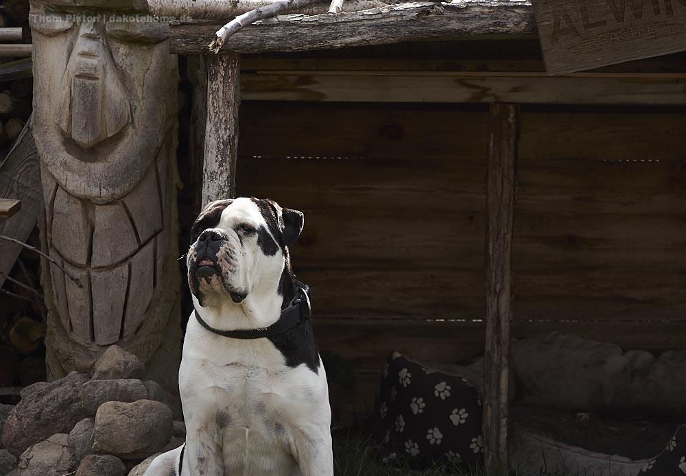 Bulldogge im Garten