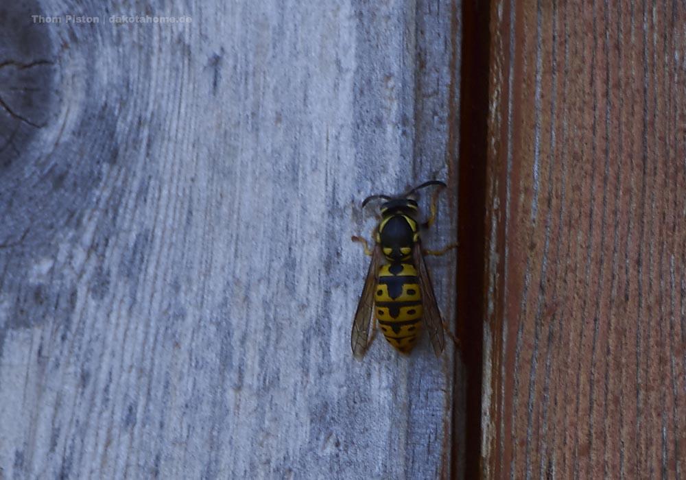 die Wespen suchen überall nach Nestbau möglichkeiten