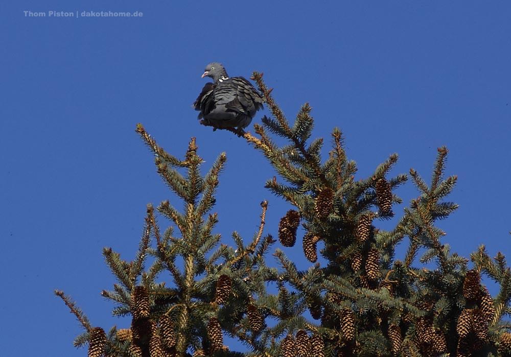 die Tauben versuchen des auch öfters mit dem Segeln, sind aber was zu fett und sacken denn immer ab so das sie Ihre Flügel doch bewegen müssen