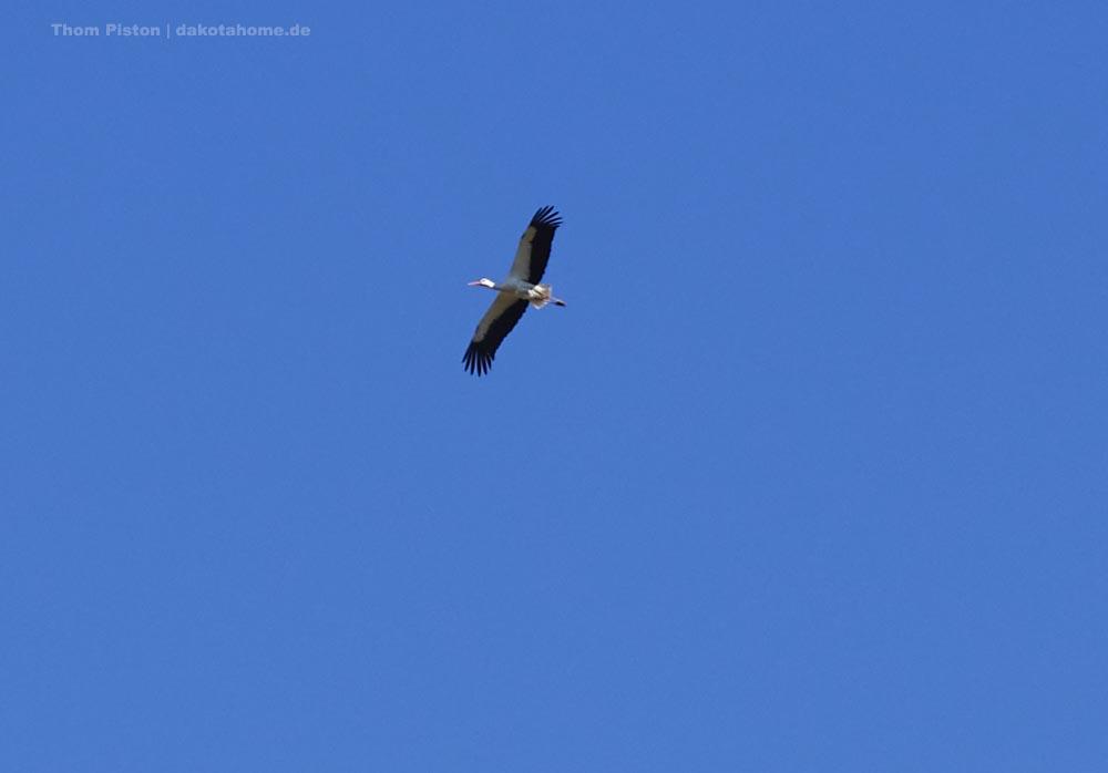 fliegender Storch in Brandenburg