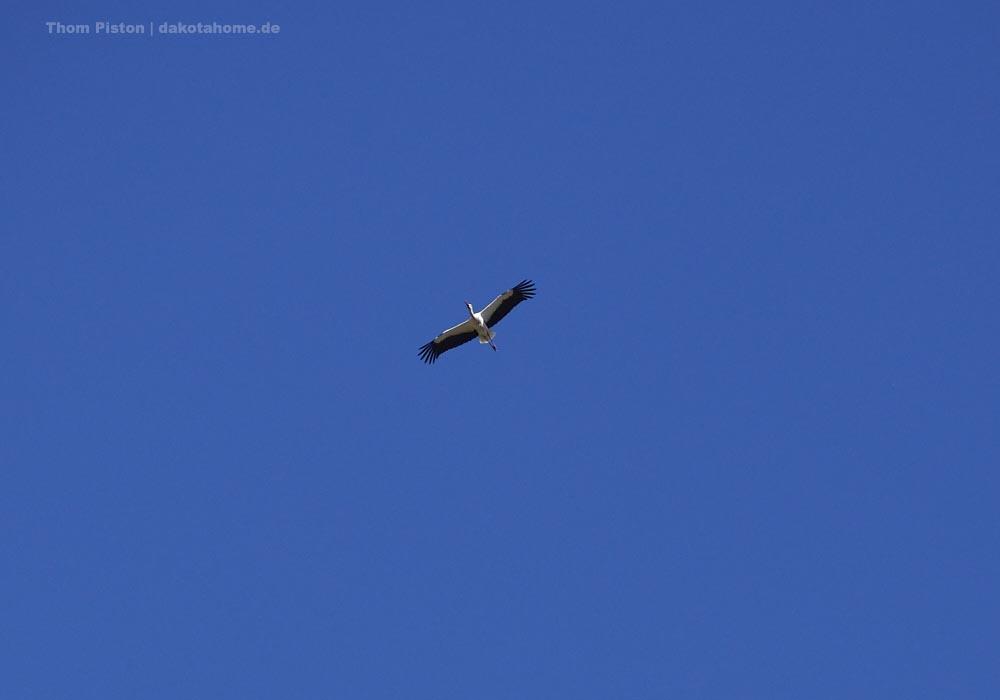 der Storch beim Nestbau im nflug aufs Feld über den Dakota Home