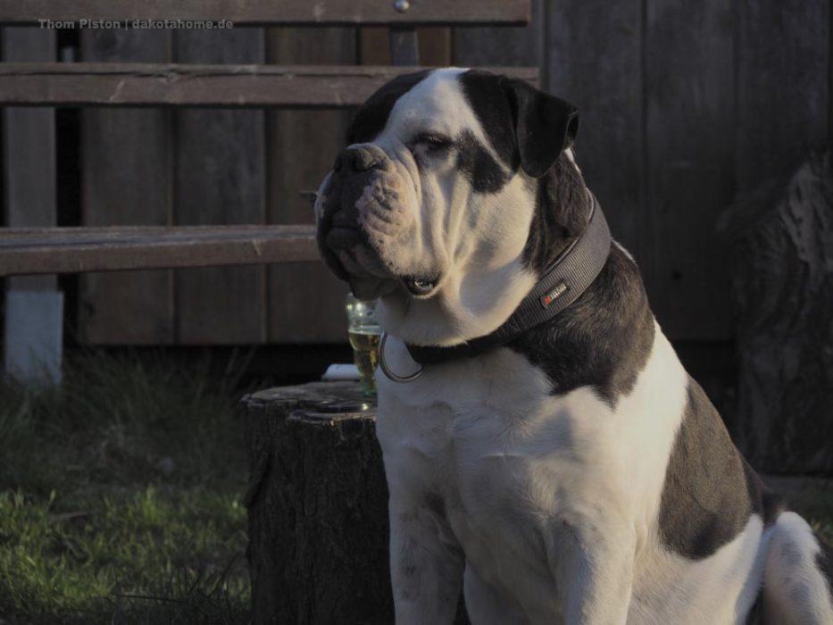 Alwin, The greatest Old British Bulldog at Dakota Home