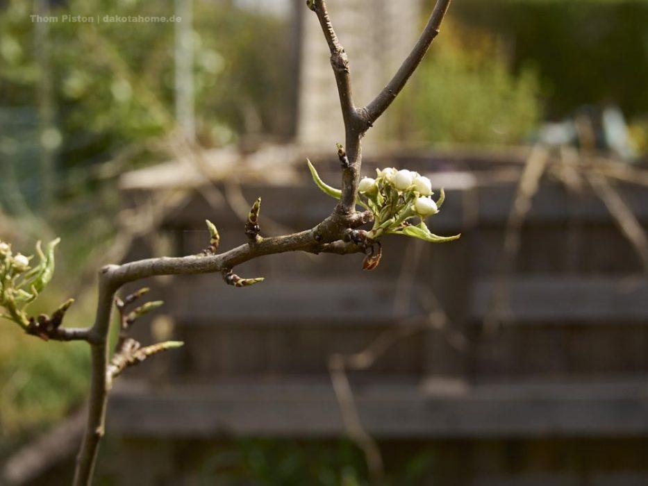 Selbstversorger Garten, Birnenbaum
