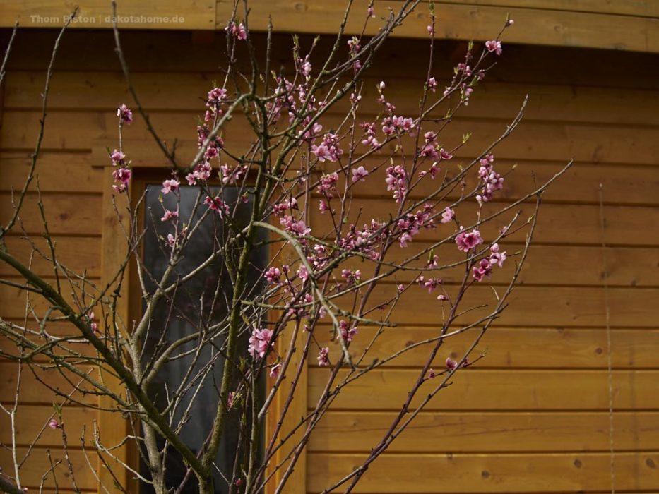 Pfirsichblüte am Dakota Home