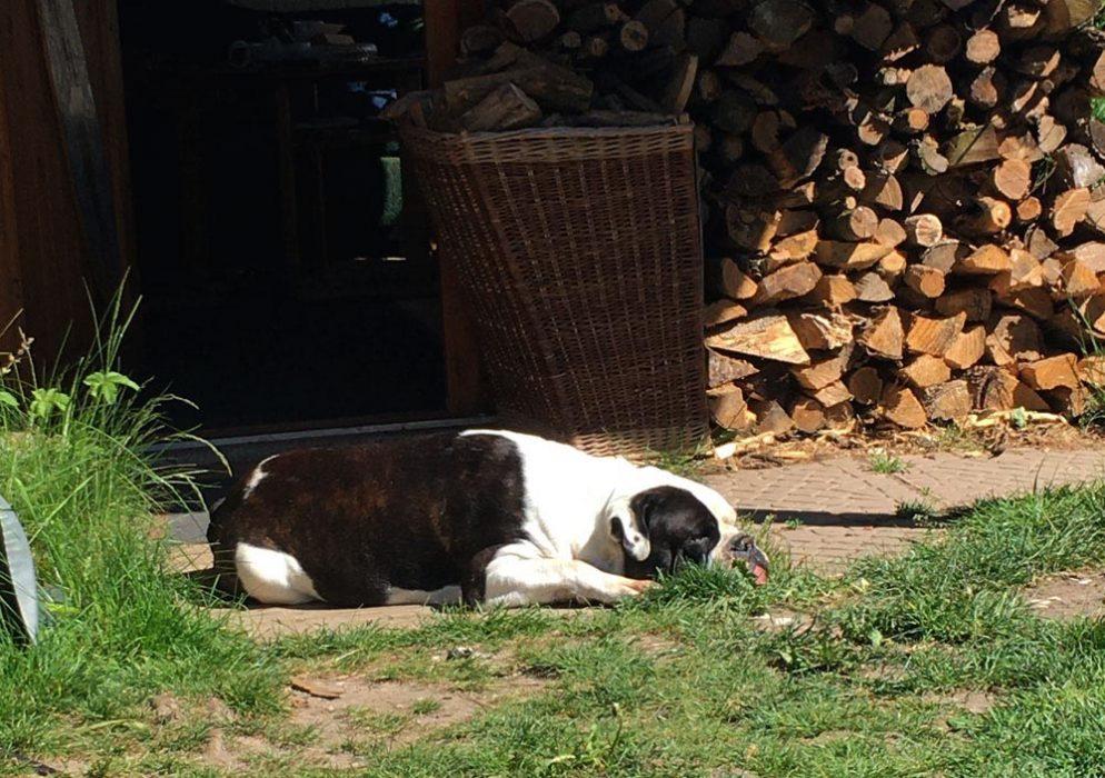 The Old British Bulldog in der Sonne