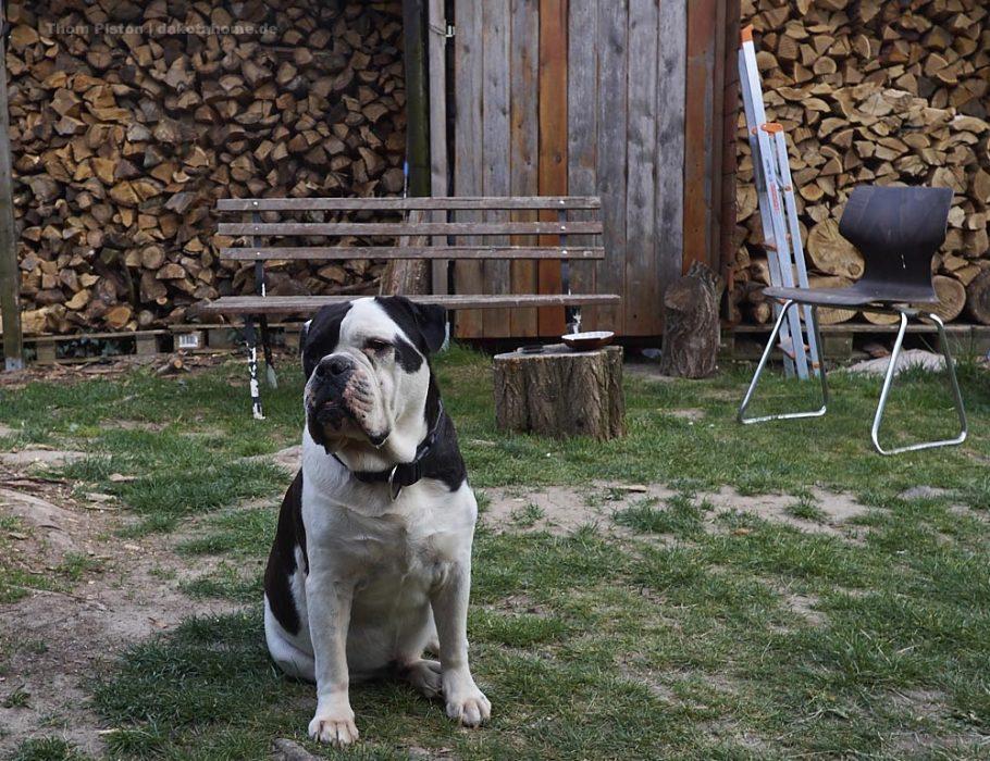 Old British Bulldog