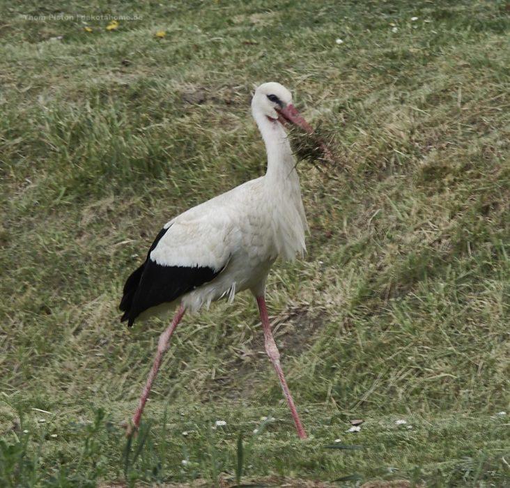 unser Storch beim Nestbau