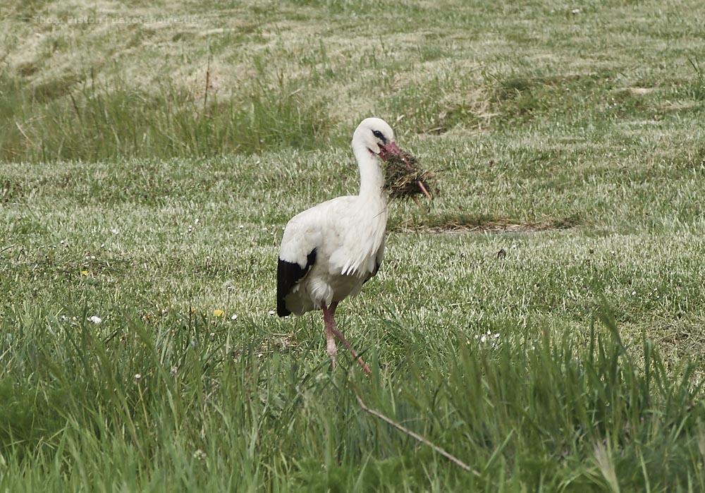 Fleissiger Storch