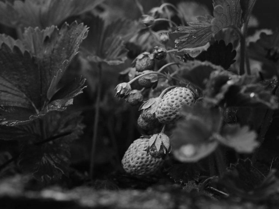 Erdbeeren Selbstversorgergarten