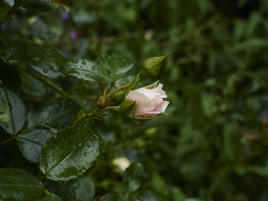 Rose ende Mai