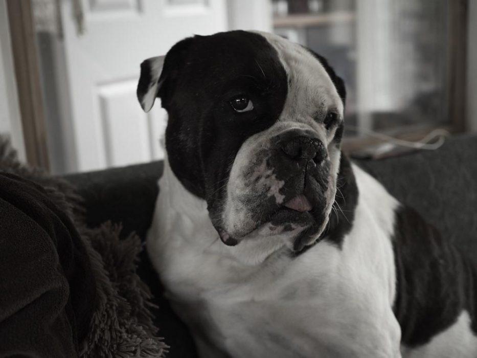 Alwin, die beste Bulldogge der Welt, Ende Mai 2020
