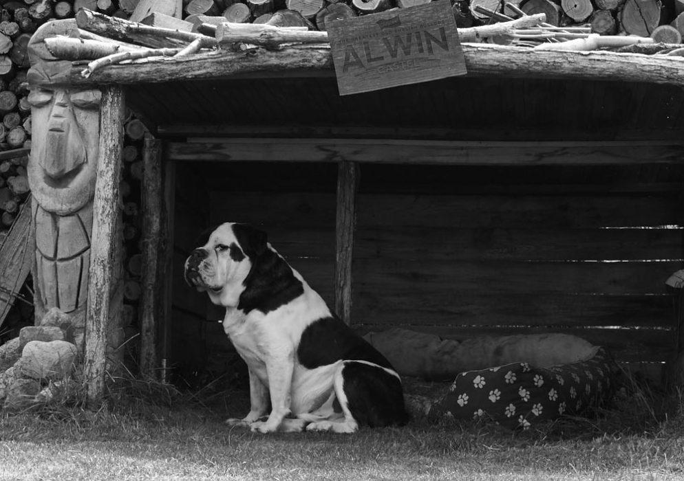 Alwin, die Beste Bulldogge der Welt
