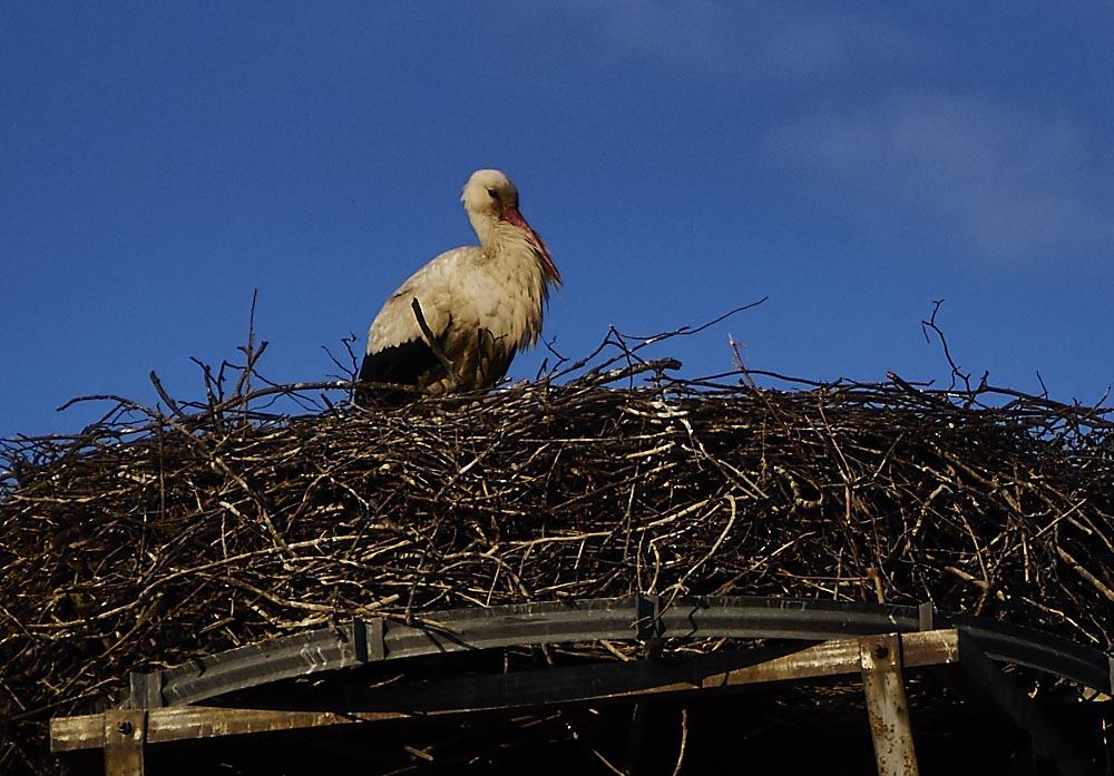 Storch in Brandenburg