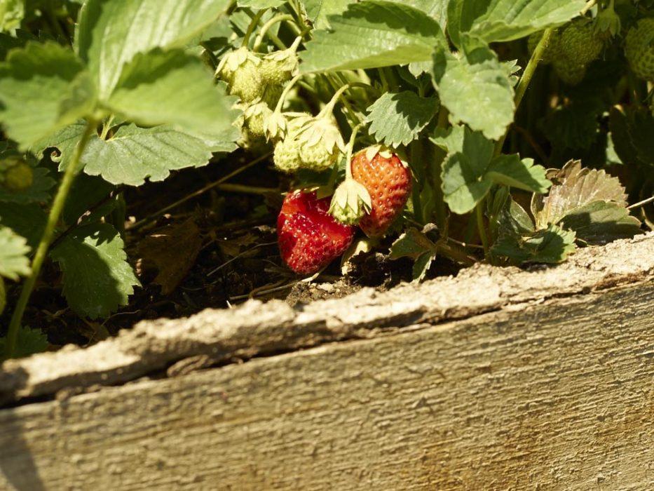 selbstversorgergarten erdbeeren