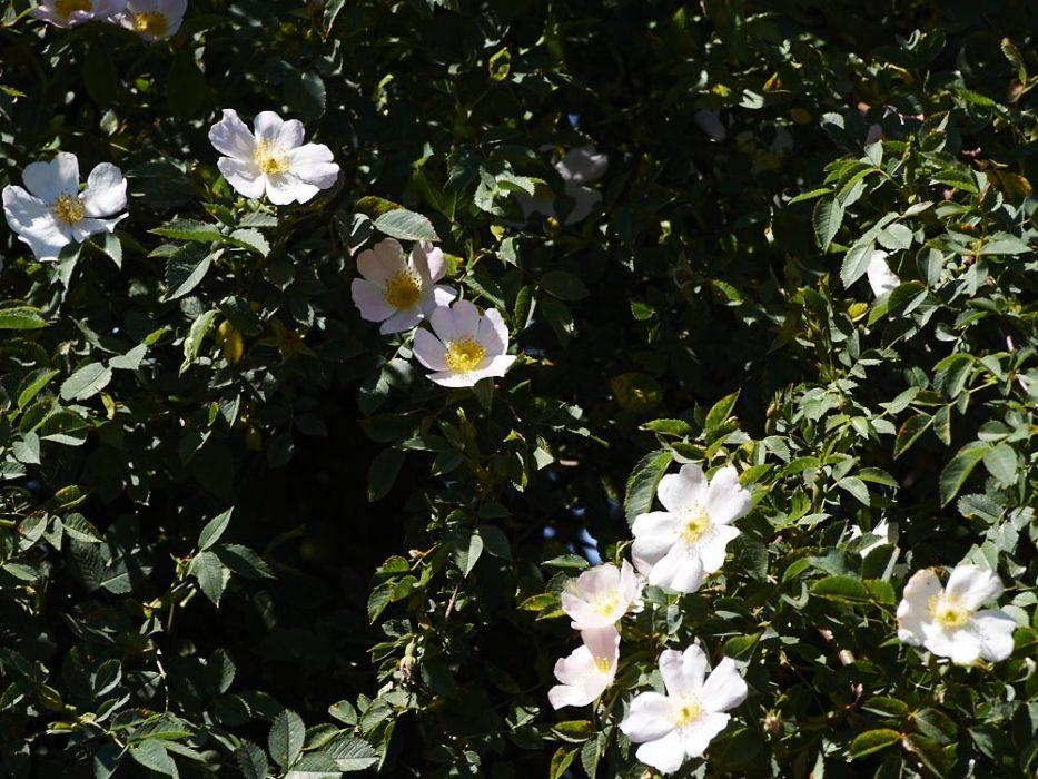 Rosenblüte brandenburg