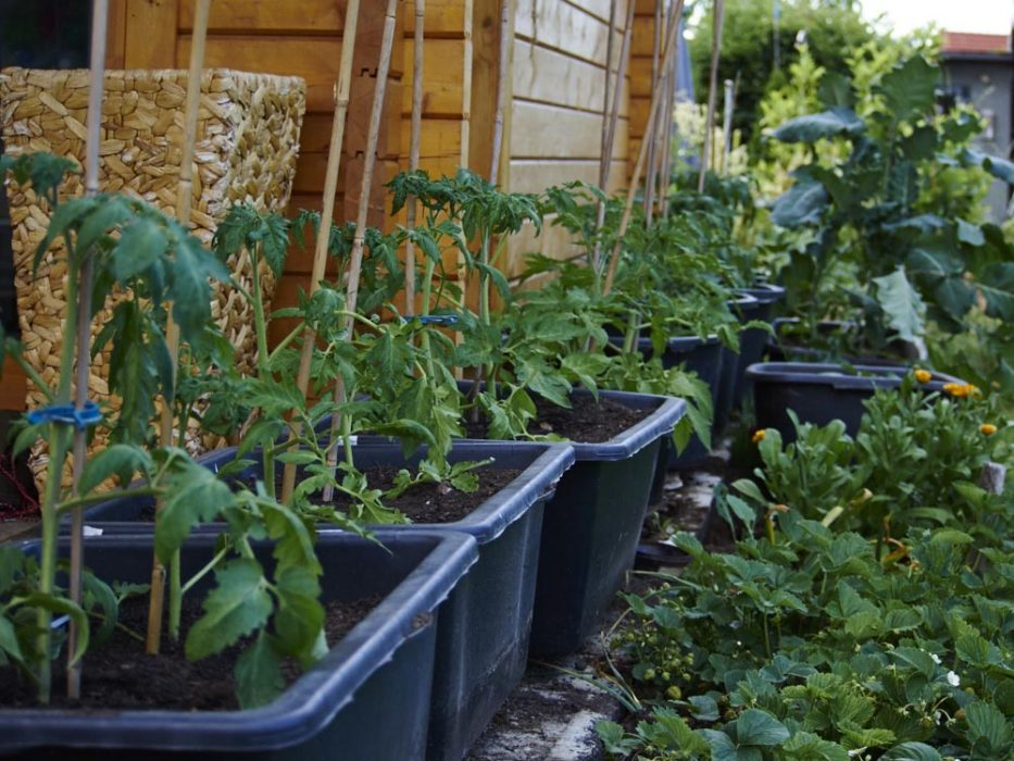Selbstversorgergarten tomaten