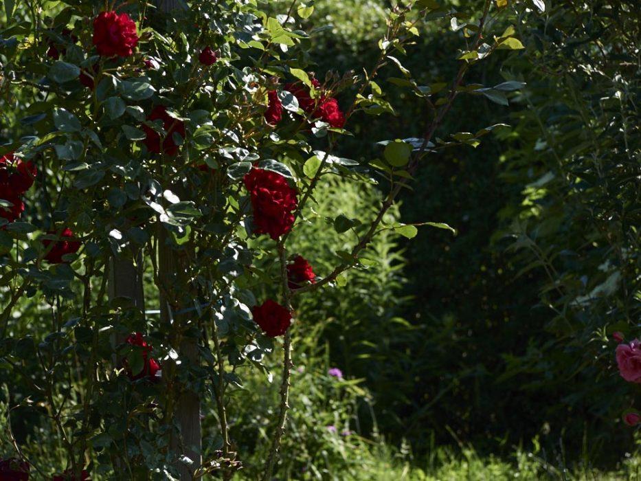 Rosen auch an der Ponderosa