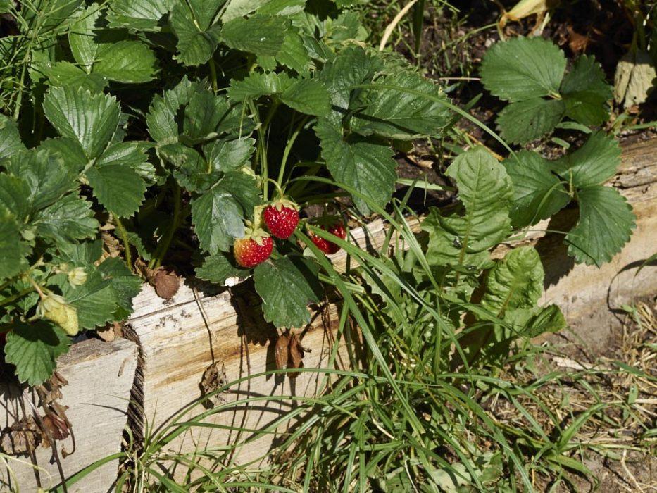 Erdbeeren im Dakota Home