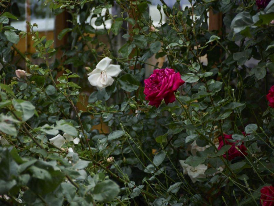 Rosen machen uns keine Probleme