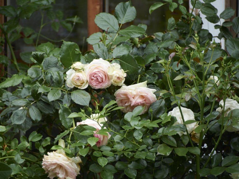 und wir haben viele verschiedene Rosen am Dakota Home stehen