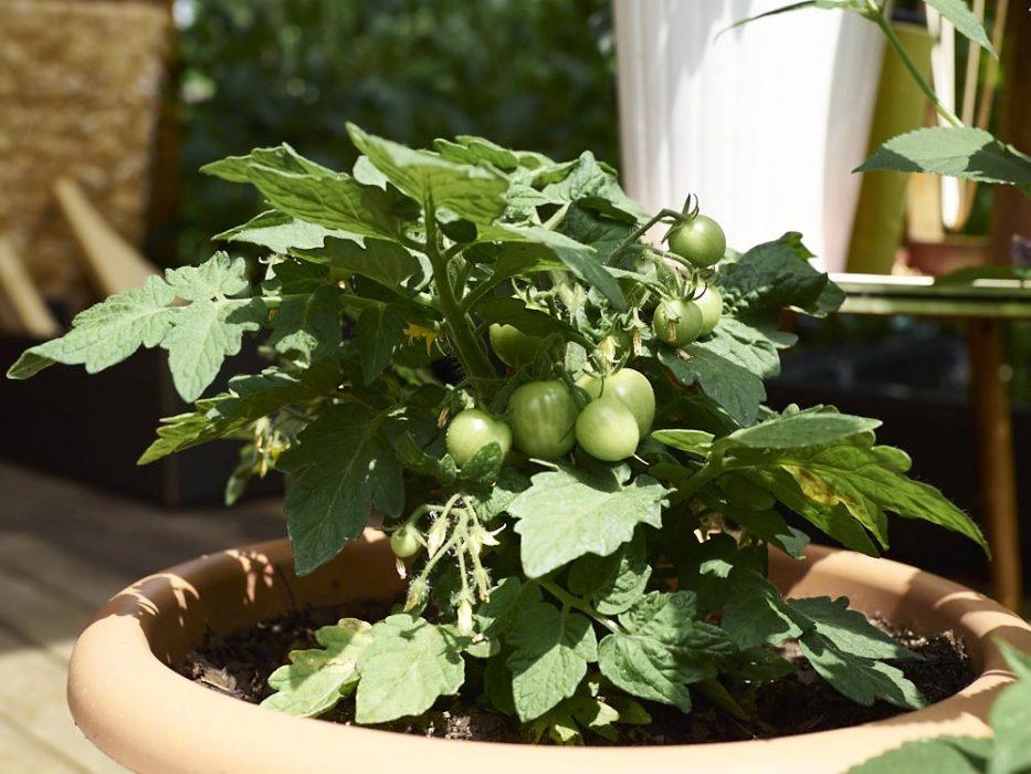 Tomaten werden so langsam wobei die Fotos hier jetzt schon paar Tage alt sind