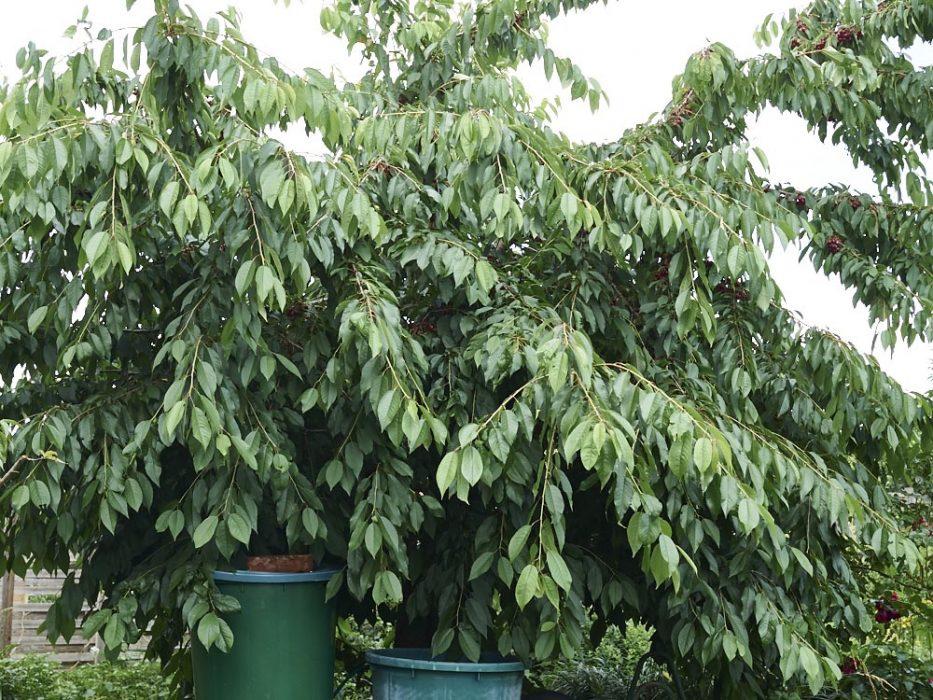 Süßkirschenbaum, den dürfen die Vögel haben