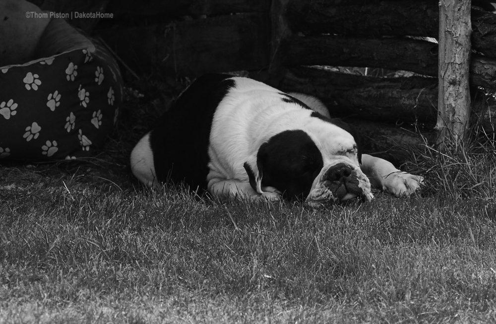 Alwin unsere Bulldogge