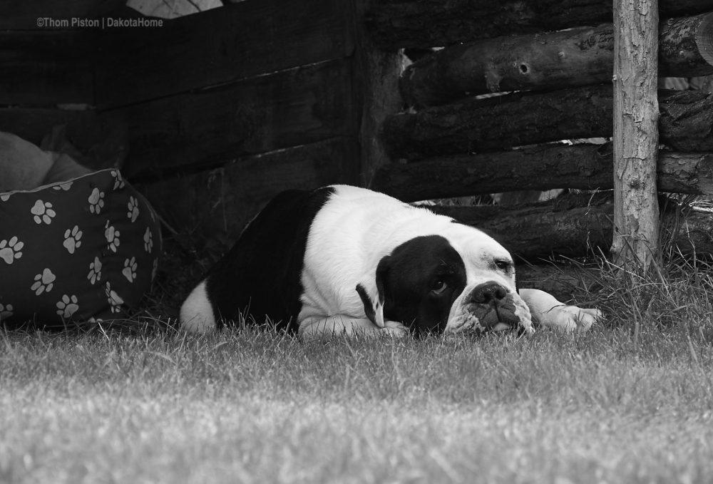 Alwin, The Greatest Old British Bulldog