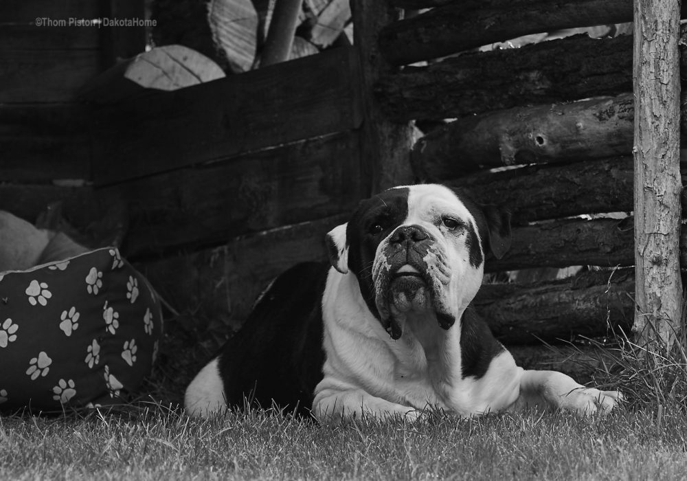 unser Einzelkind, Alwin the Old British Bulldog, Brandenburg, Dakota Home