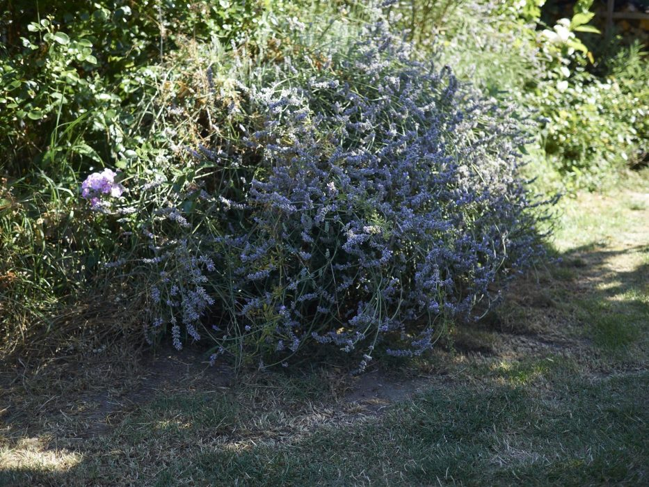 der Lavendel wucherte in den Weg rein und jetzte war genau die Richtige zeit Ihn zu beschneiden