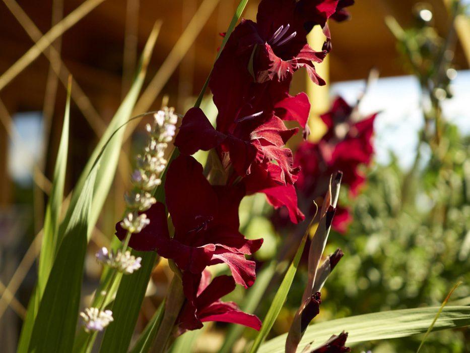 Gladiolen in unserer Lieblingsfarbe