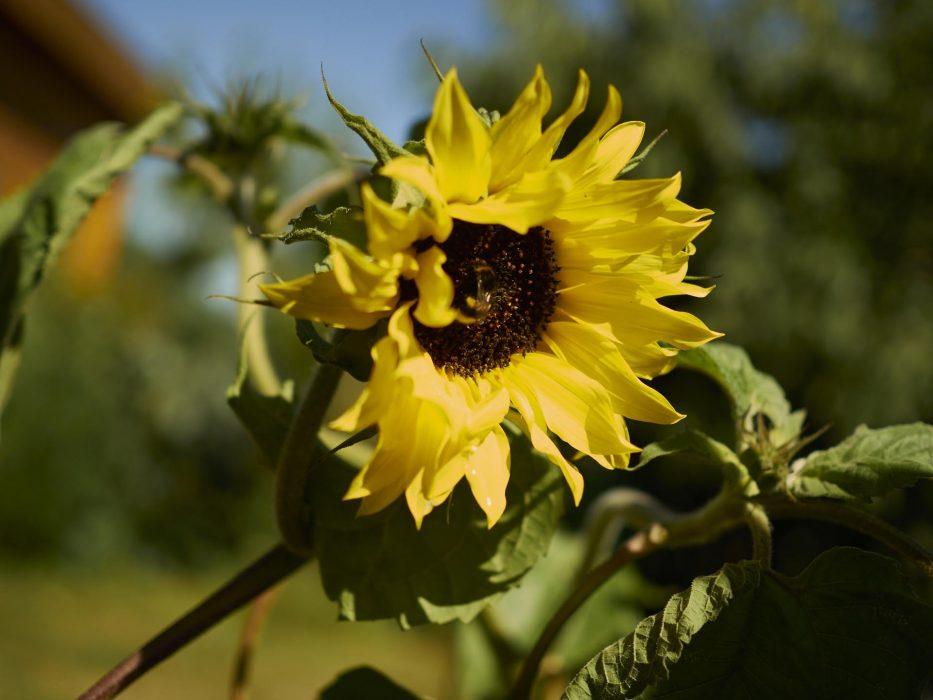 Sonnenblumen haben wir dieses Jahr etliche, das verpätete umsetzten fanden Sie nicht sooo pralle...aber ich denk des wird noch